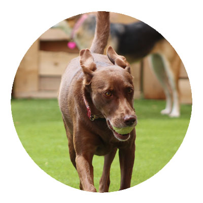 Brown dog with a tennis ball
