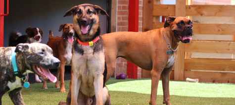 Three dogs playing in the dog daycare area